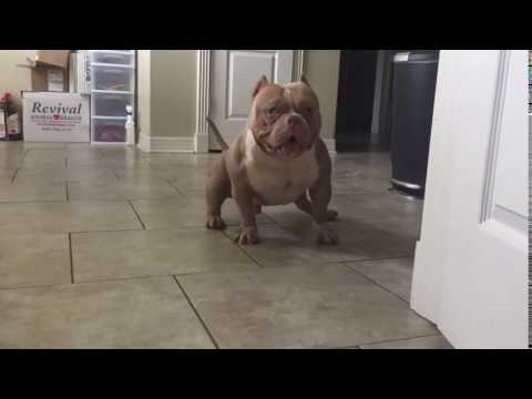 Texas Lone Star Bully