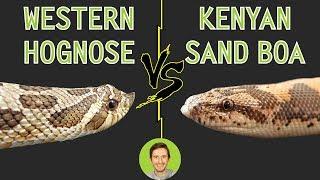 western-hognose-vs-kenyan-sand-boa-head-to-head