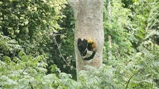 Male great hornbill feeds its baby