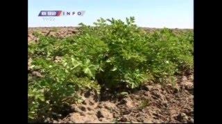 Uzgoj organskog lekovito bilja - kako da razmnozite korove a ne da ih suzbijate