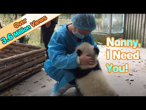 Frightened Baby Panda Clings To Nanny For Comfort | iPanda