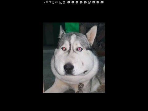 قصة كلب هسكي حزينه اصيب بمرض ما استغرق علاجه 8 ايام متواصله مع جمال العمواسي