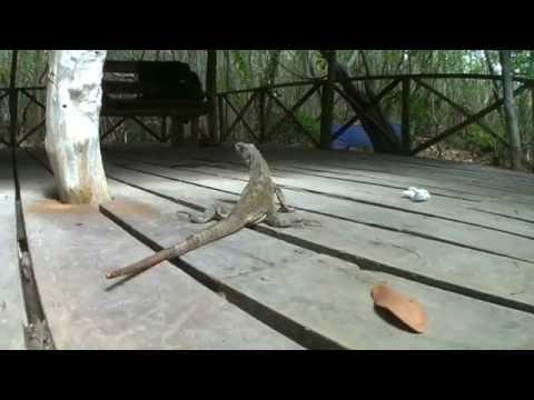 iguana posando