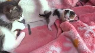 泣いて怒る子猫、そして謝る母猫 thumbnail