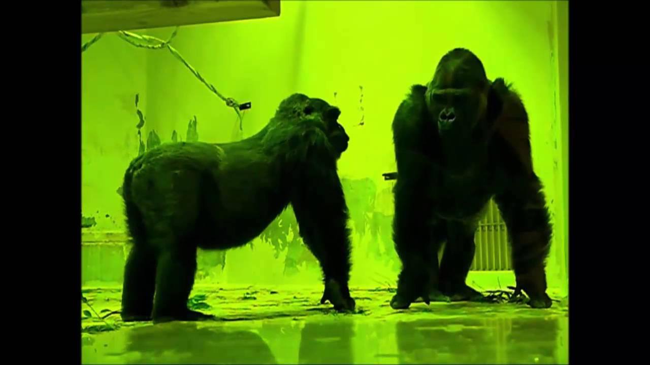 京都市動物園 ゴリラの交尾  閲覧注意! お子様には観せないでください。