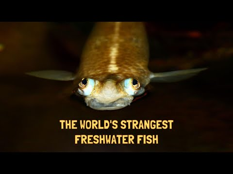THE TOP 10 STRANGEST FRESHWATER FISH (HD)