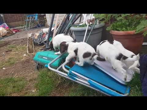 Wixy English Springer Spaniel Puppies ESS 7 Weeks old Playtime