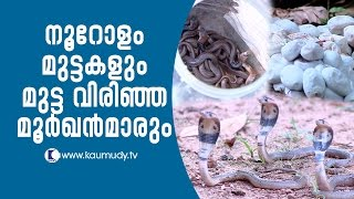 Wow ! Cobra hatchlings breaking through about 100 eggs | Snake Master EP 246 | Kaumudy TV