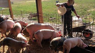 viermi în tratamentul simptomelor porcine