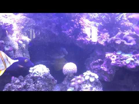 Scribbled Rabbitfish (2)