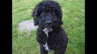 The Spanish Water Dog or Perro de Agua Español is a breed of dog de...