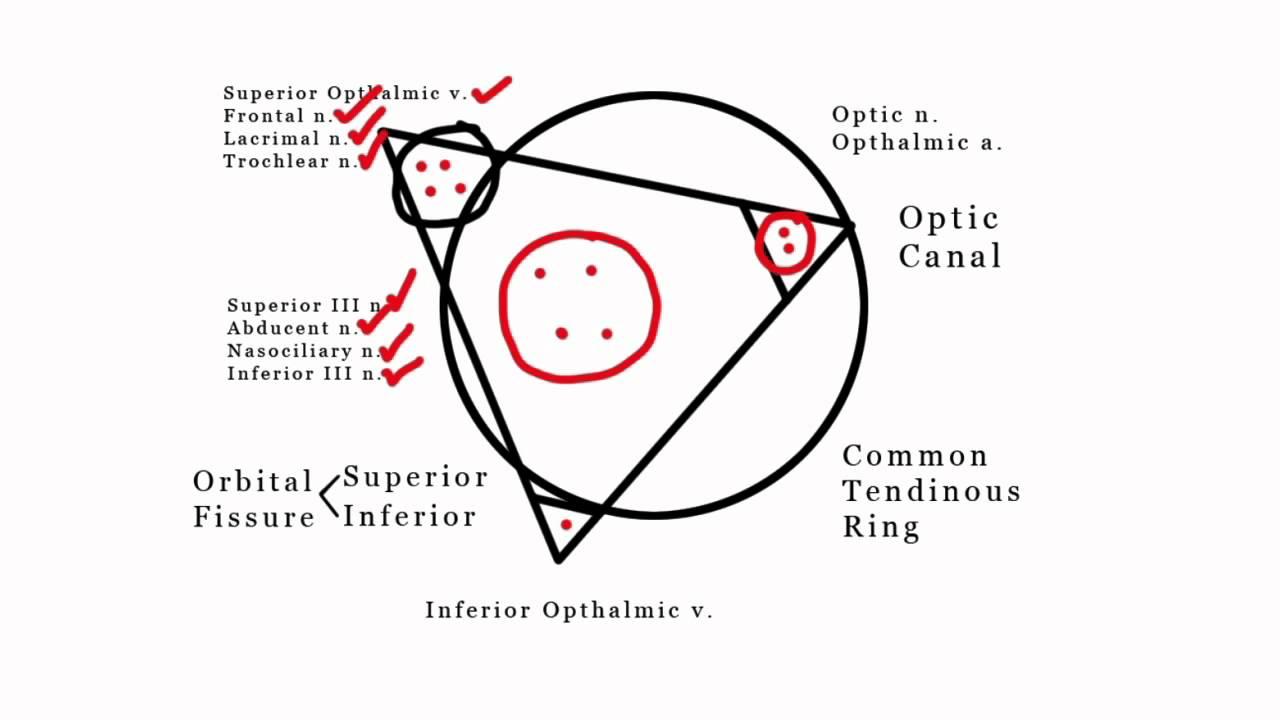 Jovicagram of Common Tendinous Ring in the Orbit - YouTube