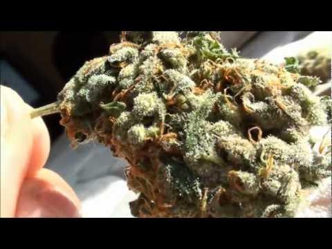 KC Jones - Sativa 21.65 % THC Top Shelf Review in HD