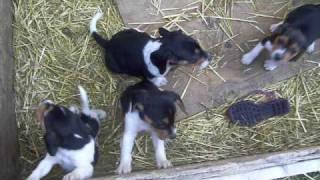 Beagle Puppies  April 2009