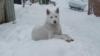 Белая Лайка на снегу.