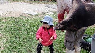 西表島のリュウキュウイノシシの狩猟動画です。 日本列島には、ニホンイ...