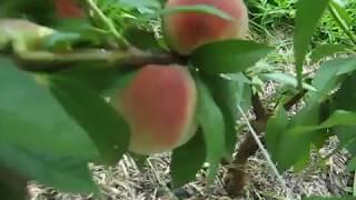 видео Описание сортов персика