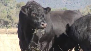 Charles asian cattle breeds Video