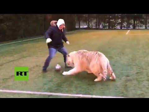 Un tigre que juega al fútbol mejor que Ronaldo