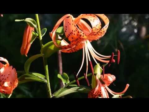 Саранки. Лилии Как посадить и размножить саранки?!