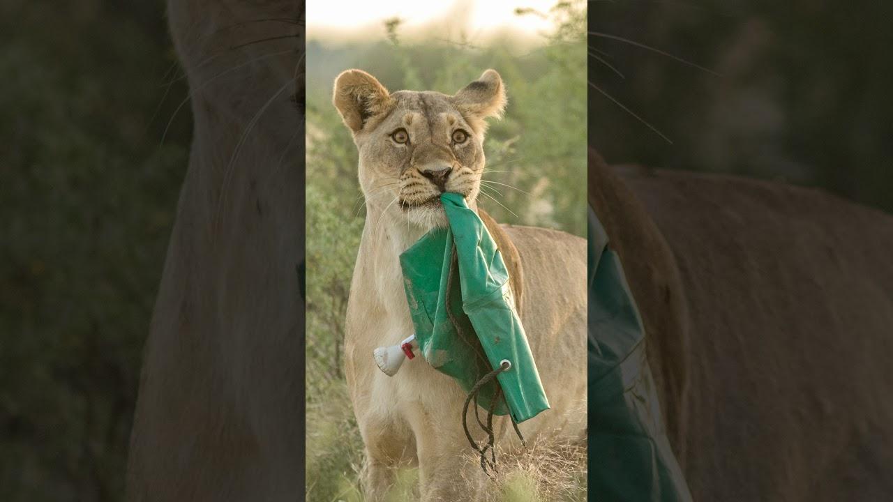 A Lioness Steals an Outdoor Shower (#shorts)