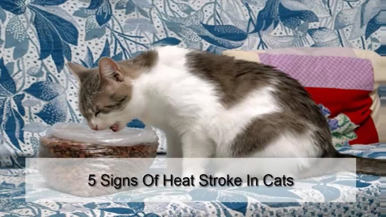 Heat Stroke 5 Signs Of Heat Stroke In Cats Youtube How To
