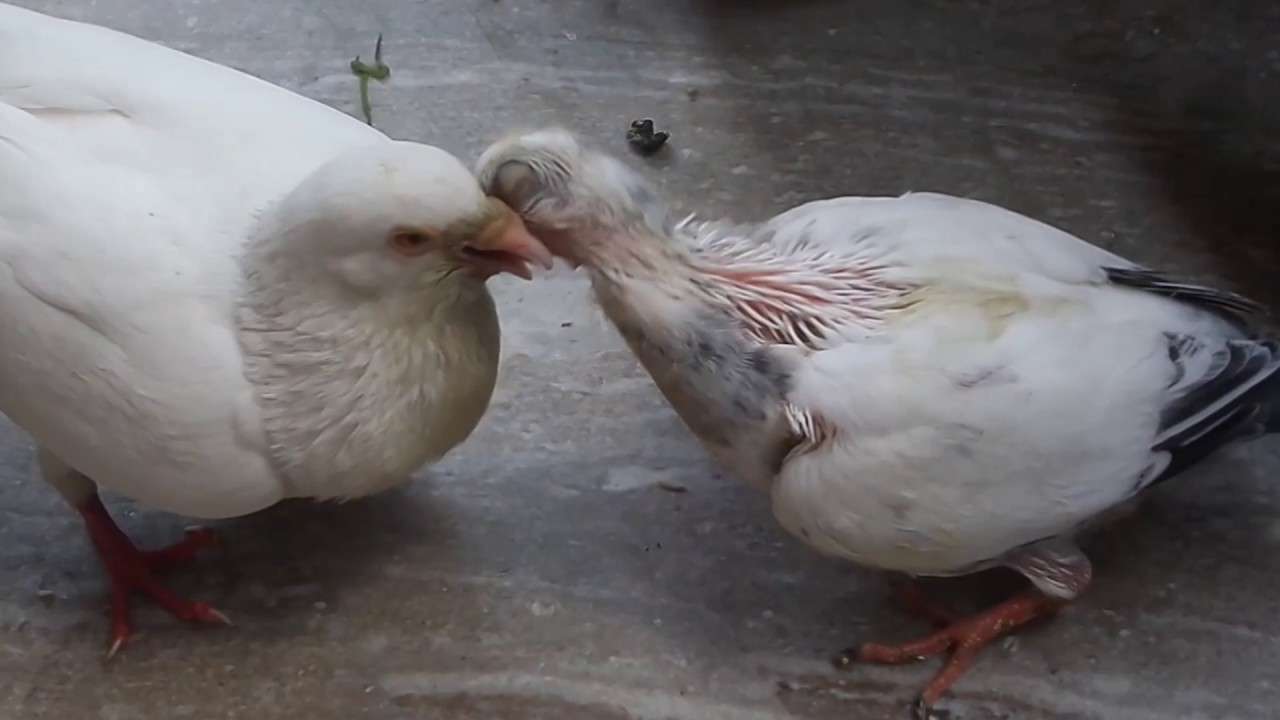 pigeon EGG Baby to full pigeon in 35 days Video Pigeon ...