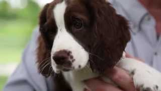 Meet the Puppies - Springer Spaniel