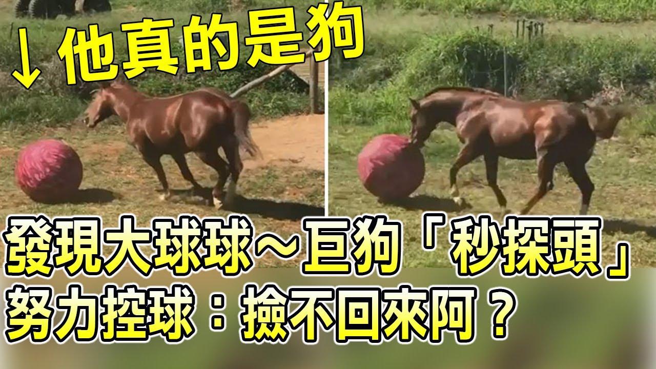 丟出大球球~住錯靈魂的狗狗「秒探頭」努力控球:撿不回來阿? 狗狗搞笑