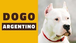 A minha opinião sobre o DOGO ARGENTINO