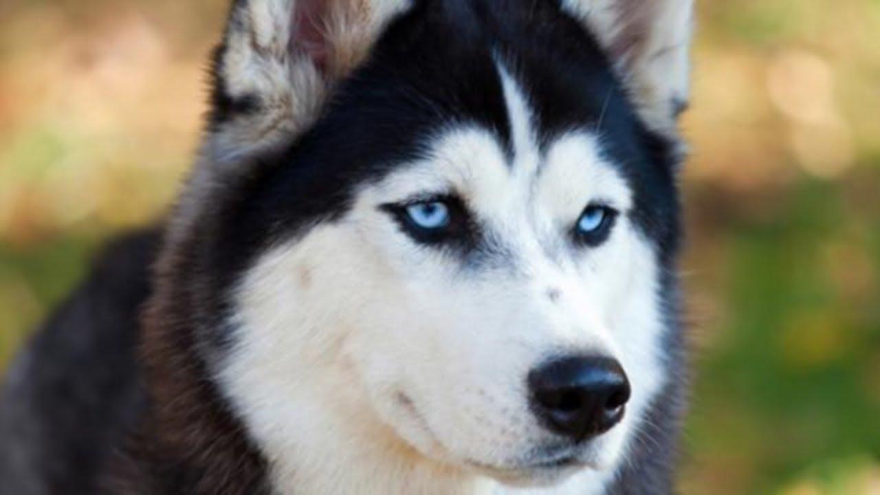 animaux les races de chiens les plus populaires descriptions et origines s rie 4 8 youtube. Black Bedroom Furniture Sets. Home Design Ideas