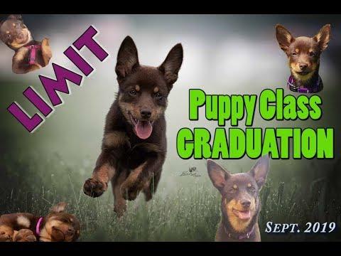 Puppy Class GRADUATION - Kelpie Limit, 6months