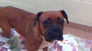 Meet Sky A Boxer Currently Available For Adoption At Petango.com! 3/21/2012 2:25:00 Pm