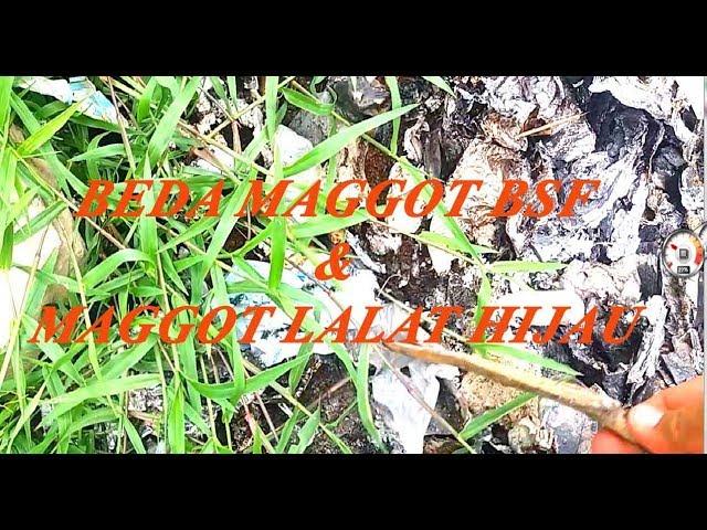 beda maggot  bsf dan maggot lalat hijau.