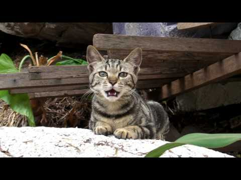 tabby cat yawns and meows