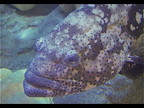 ヤイトハタ Malabar grouper Epinephelus malabaricus