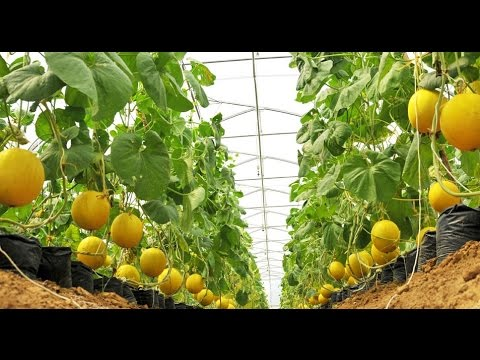 Agriculture Technology - Rockmelon