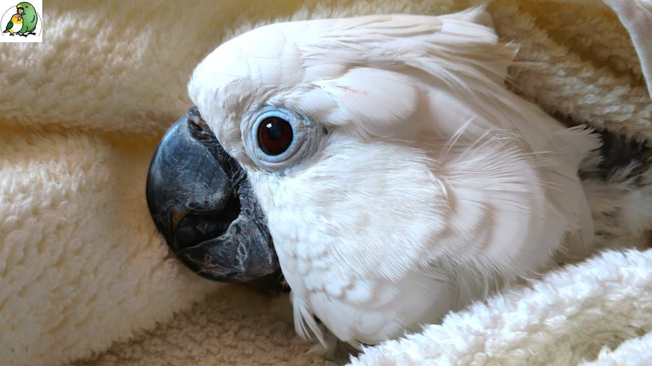 Cockatoo in Pain Rushed to The Vet | What's Next For Victoria