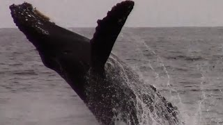 4.28.15 Breaching Humpback Whales #Monterey #Travel #Adventure