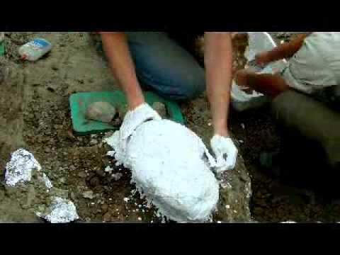 Plaster Cast Jacketting a Hadrosaur Skull Bone (No Audio or Labels)