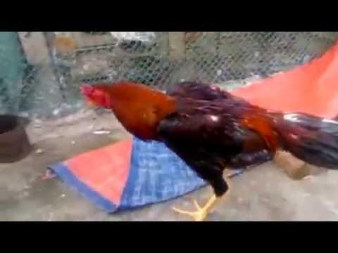 Aseel Morog / Cock -  Birds & Animals Gallery