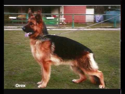 German Shepherd Floro - Here I am ! - YouTube