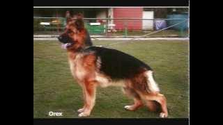 German Shepherd Floro - Here I am !