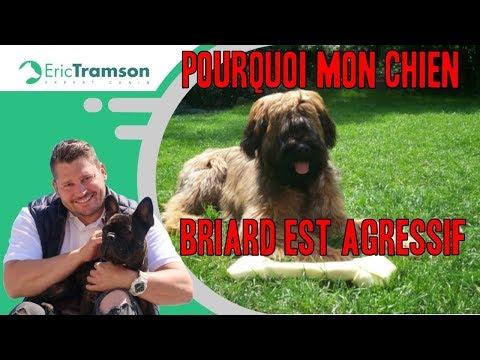 Pourquoi mon chien Briard est agressif et mord à la nourriture ?