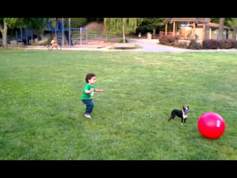 Cutest Funniest Dog Ever , Boston Terrier Playing Soccer (Football) with Large Ball