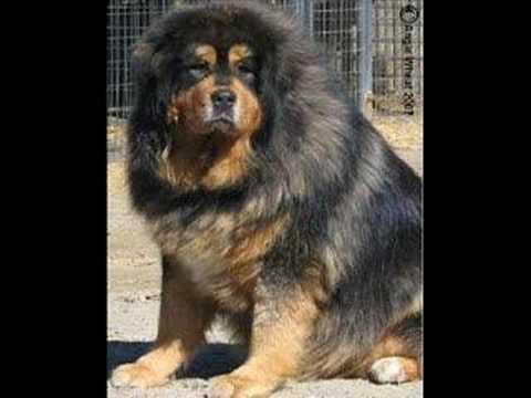 Caucasian Mountain Dog ( Armenian dog) - YouTube