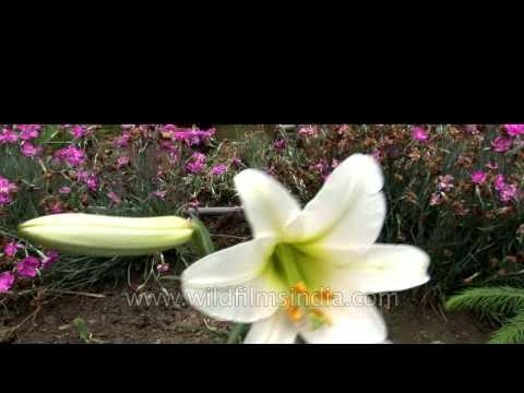 Beautiful Lilium regale flower