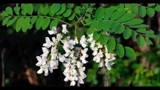 69 Benefícios do chá de Moringa para a saúde