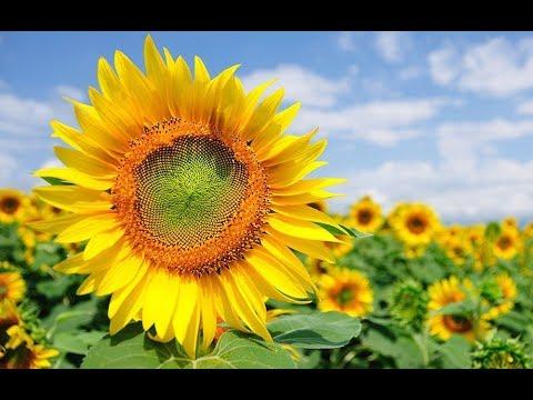 Beautiful Sunflower Helianthus Bunga Matahari Cantik Hd Youtube