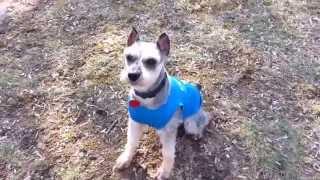 Schnauzer Rescue - Prince, Aka Stud Muffin 03/14